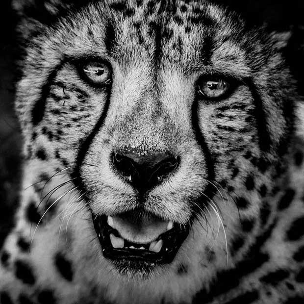 4531-Cheetah portrait, Kenya 2013 © Laurent Baheux