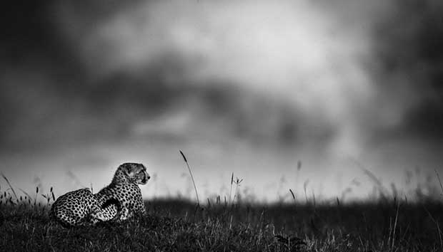 5867-Cheetah before the rain, Kenya 2006 © Laurent Baheux