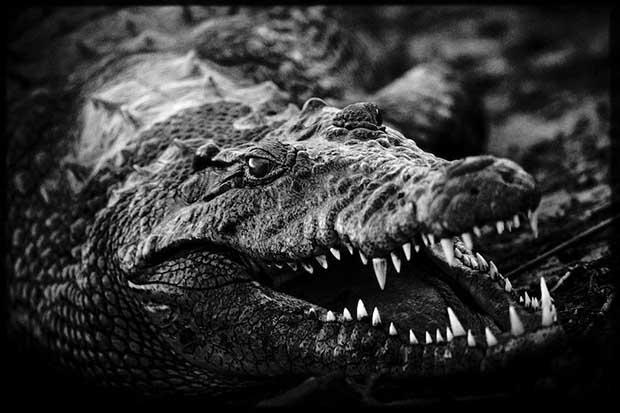 Laurent Baheux - Crocodile, Botswana 2010 - 900 x 600 - 72 dpi