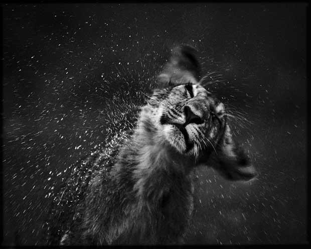 Laurent Baheux - Cub after the nap, Lion, Kenya 2006 - 900 x 720 - 72 dpi