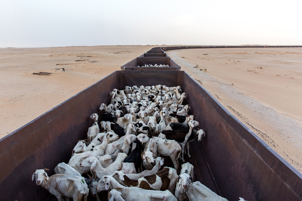 Sheep loaded in wagons that usually transport iron ore are ready to start a 20 hour journey through Sahara dessert from Nouadhibou harbour, Mauritania, to the mine at Zouérat, in northern part of the country, September 29, 2015.