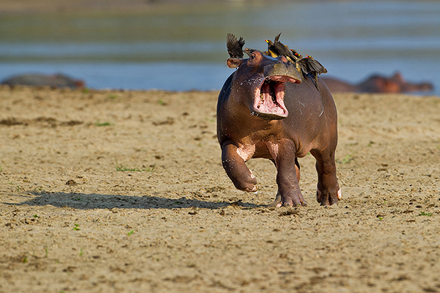 Help.....mum! Driven hippo-potty-mus.