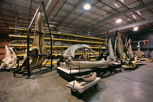 Whale Skeletons, Museum Support Center