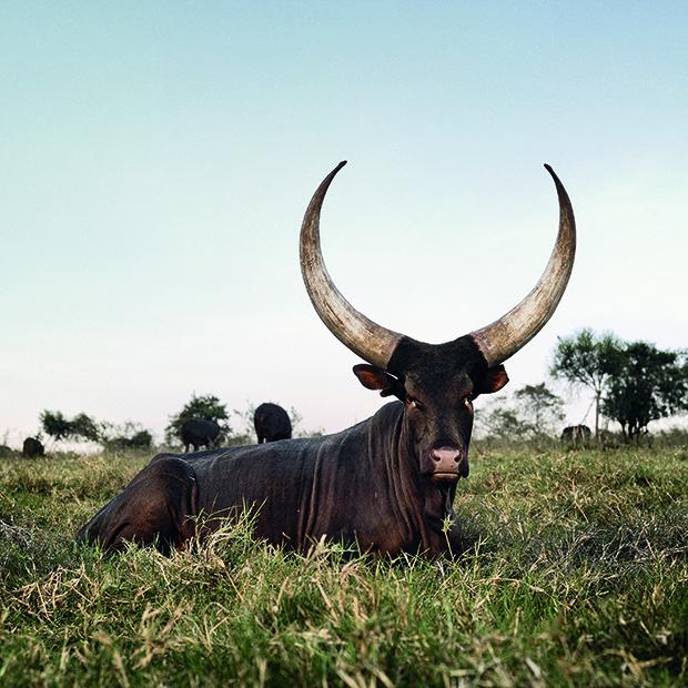 Ankole 12. Outside Mbarara, Kiruhura district, Western Region, U