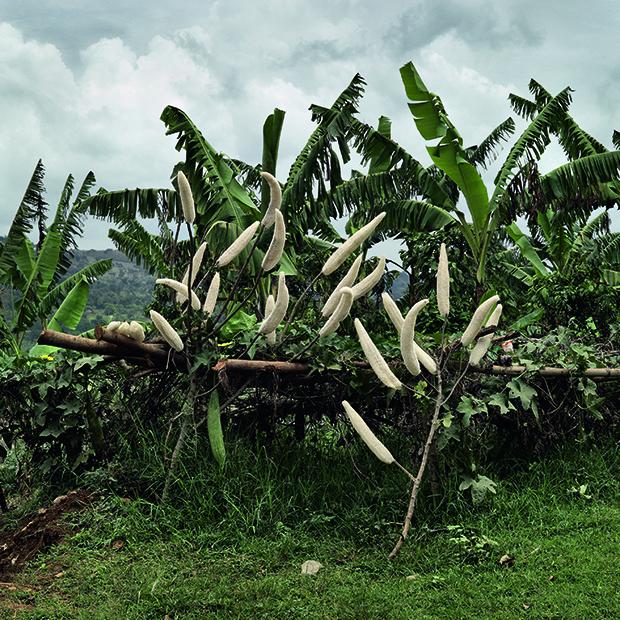 Luffa plant. Buwama, Mpigi district, Central Region, Uganda, 201