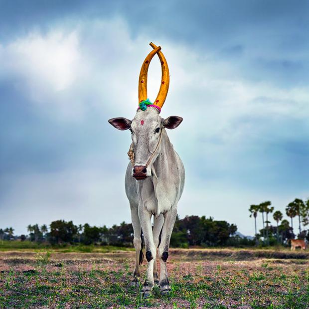 Mattu Pongal 28 Kanakkandal district Tamil Nadu India 2014 THE PRINT