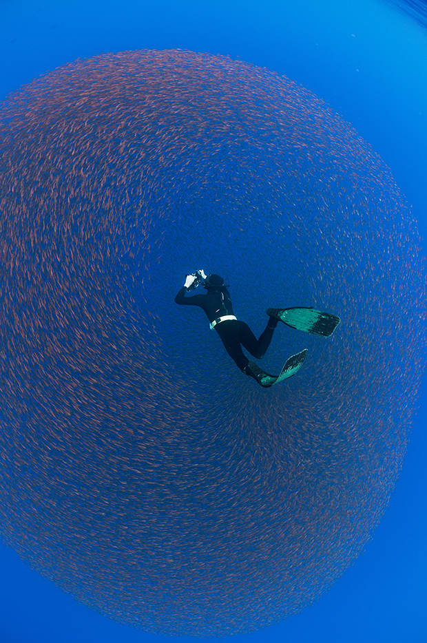 Underwater view of a freediver photographing a baitball of juvenile snappers, San Benedicto Island, Colima, Mexico