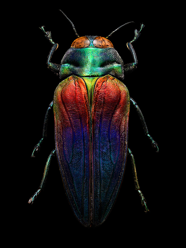 LEVON_BISS_Tricoloured-Jewel-Beetle