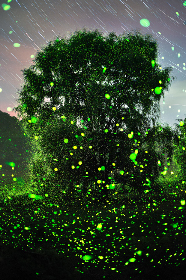 Fireflies_07-07-16_5968-6110_SouthRd_WillowVert_640pxForFS