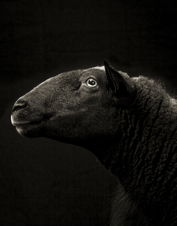 Photos That Capture the Souls of Sheep and Goats