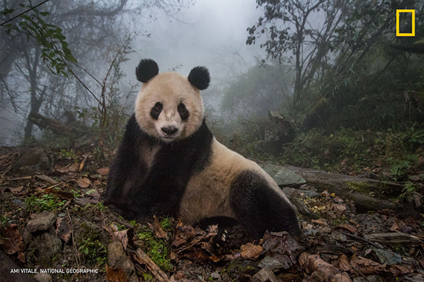 rewilding-pandas-in-chine-amy-vitale