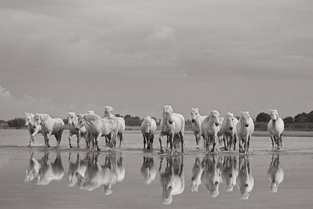 white-horses-camargue-drew-doggett-on-the-shores-1024x683