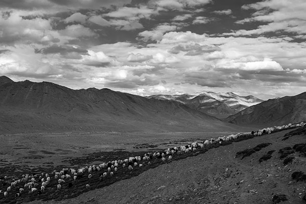 Ladakh nomads, India. A heard of sheep and goat graze back to Zara village.