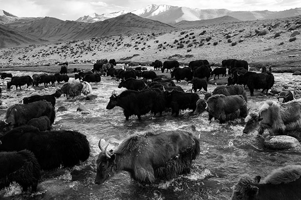 Ladakh nomads, India. Yak cross a river towards Zara nomadic settlement.