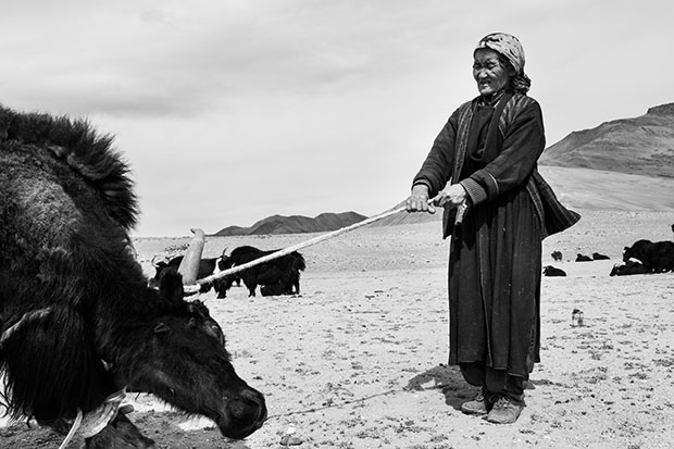 Ladakh nomads, India. An old lady holds a yak which is being sheard, Zara.