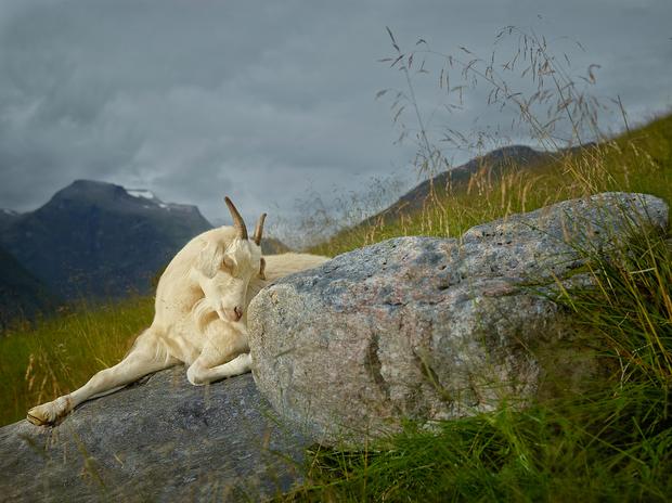 rjkern-bovidae-divine-animals-001