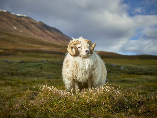 rjkern-bovidae-divine-animals-005