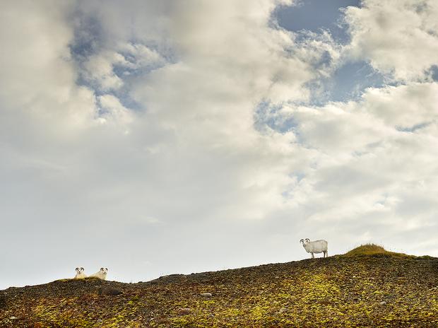 rjkern-bovidae-divine-animals-006