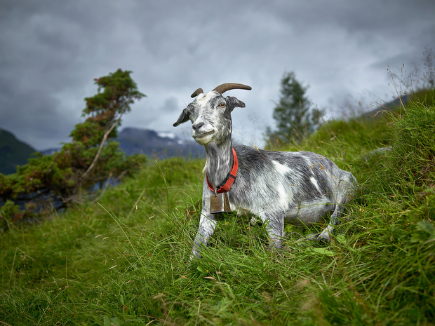 rjkern-bovidae-divine-animals-010
