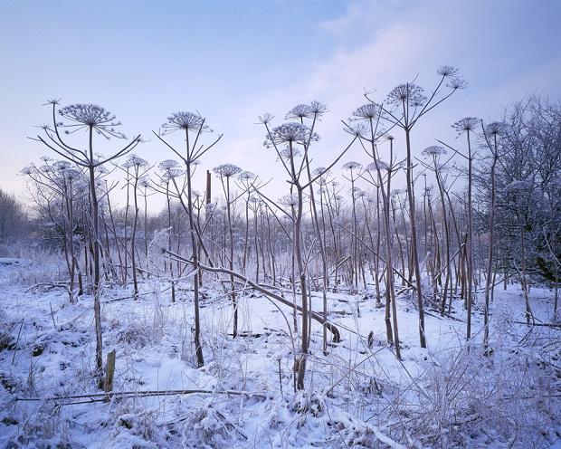 02-gerardkingma-rusthoven-giant-hogweed-750pxh