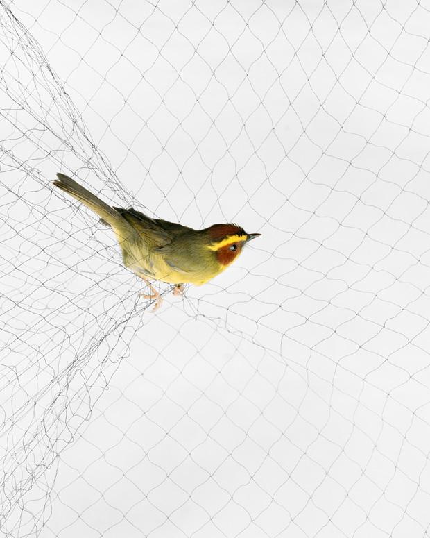 Golden-browed Warbler (Basileuterus belli)