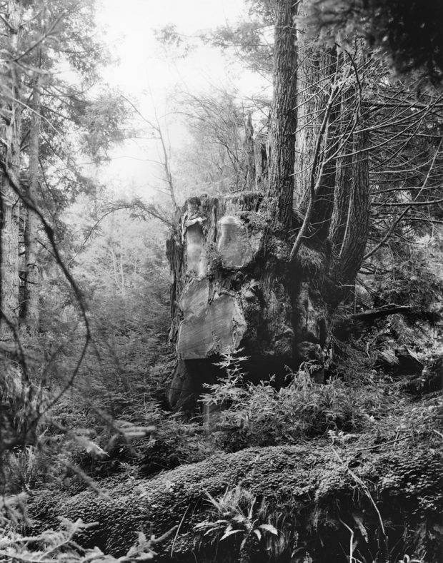 Thievery in the Redwood Forests of Humboldt County, California