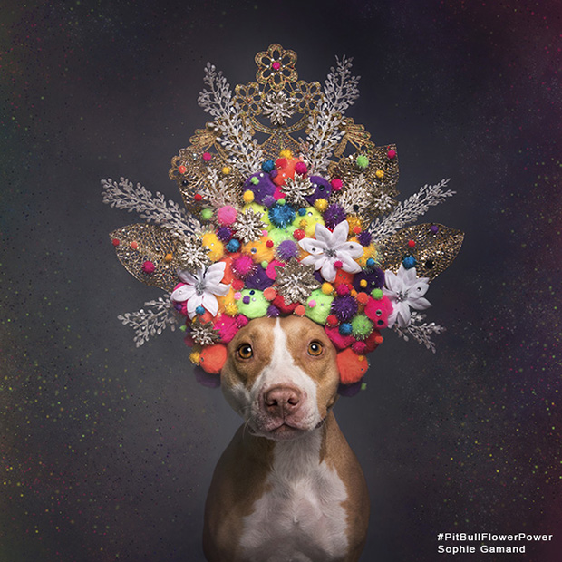 The Vulnerability of Pit Bulls, in Photos