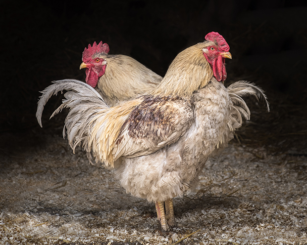 Soulful Photos of Animals Saved from Slaughter or Neglect