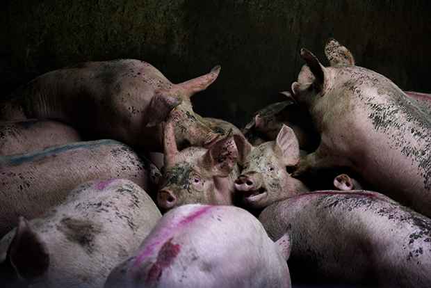 The Horrific Brutality of the Meat Industry, in Photos
